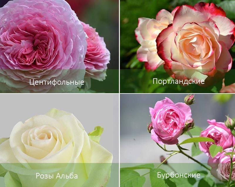 Как ухаживать за розами весной, что бы получить долгое цветение