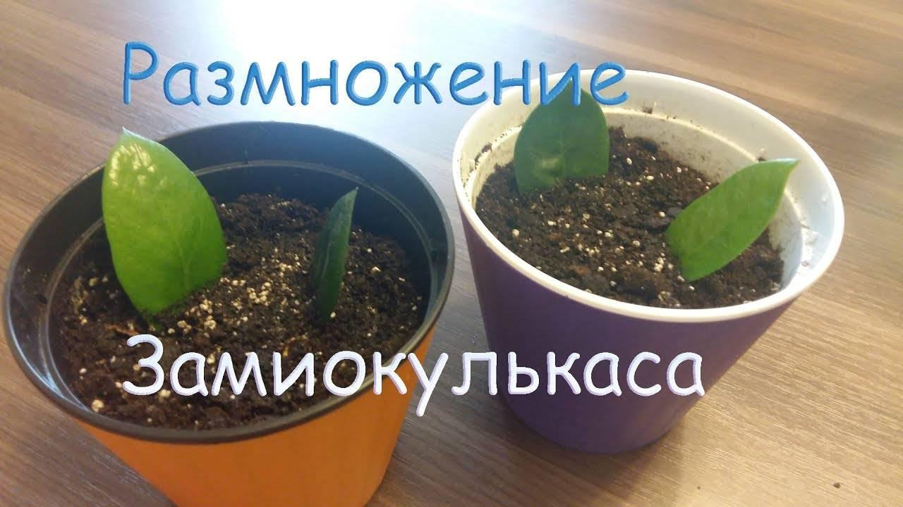 Размножаем замиокулькас: способы для домашних цветоводов