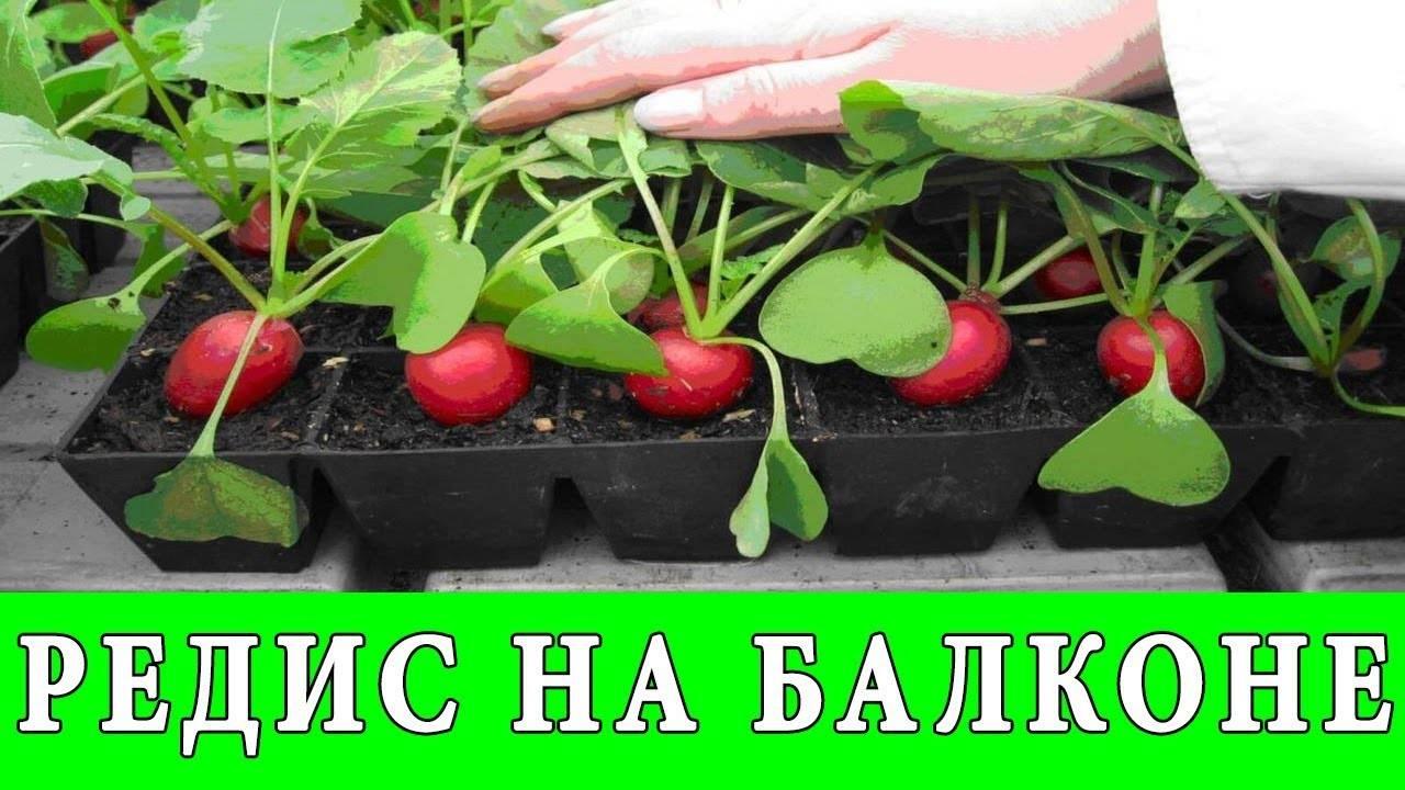 Выращивание редиски в яичных кассетах: плюсы и минусы, пошаговая инструкция и возможные проблемы