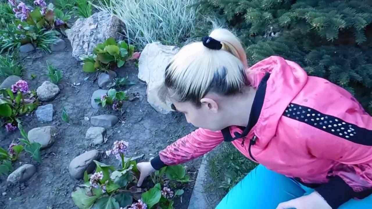 Многолетнее растение бадан: описание, уход и выращивание