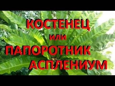 Способы размножения разных видов растения асплениум