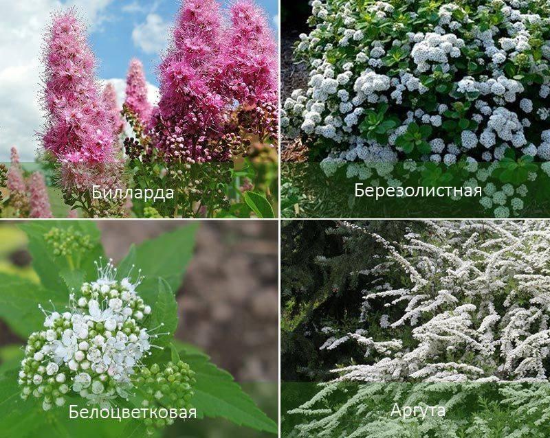 Спирея: описание, виды и сорта, агротехника