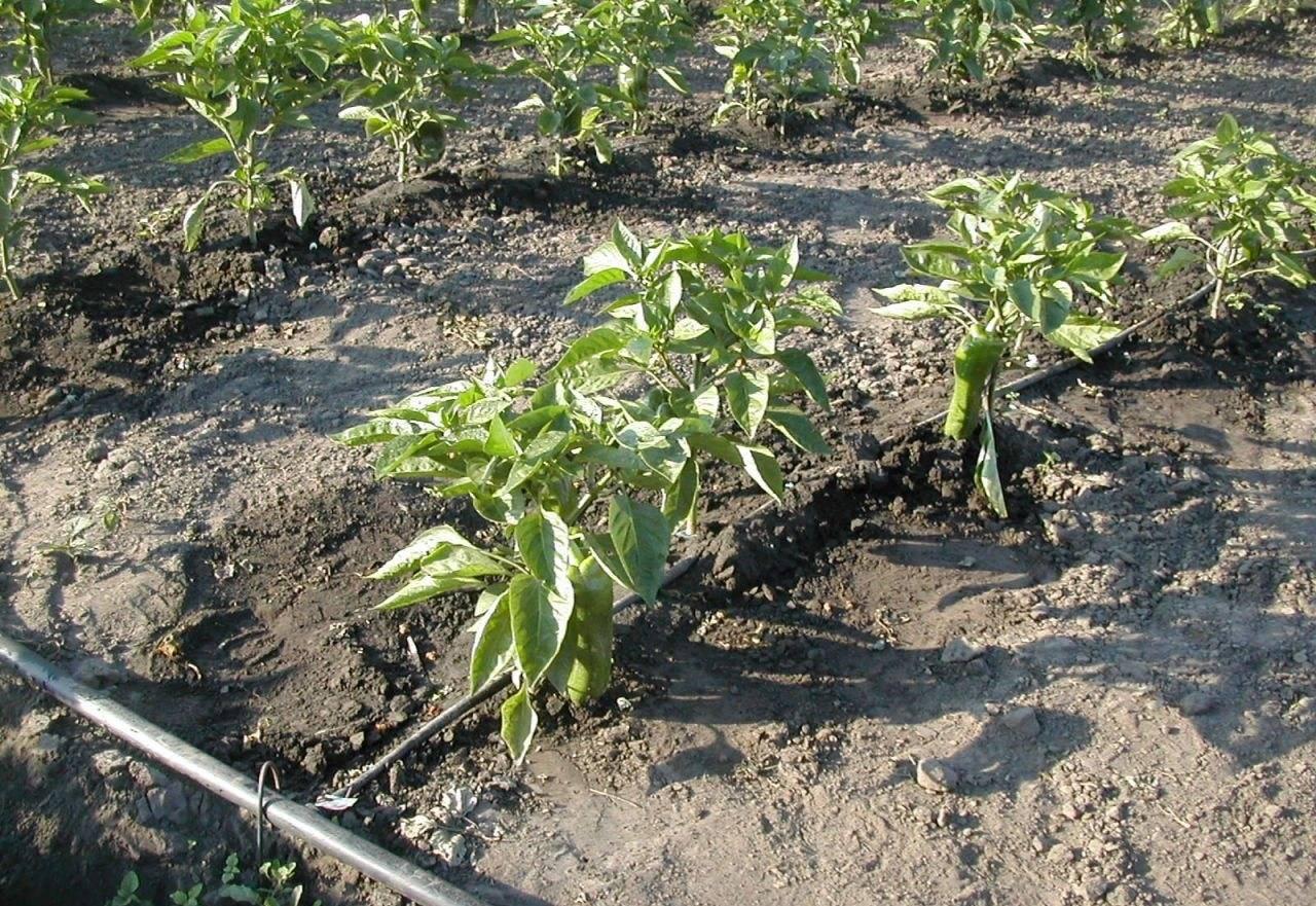 Благоприятные дни для высадки рассады перца в 2020 году в теплицу и открытый грунт