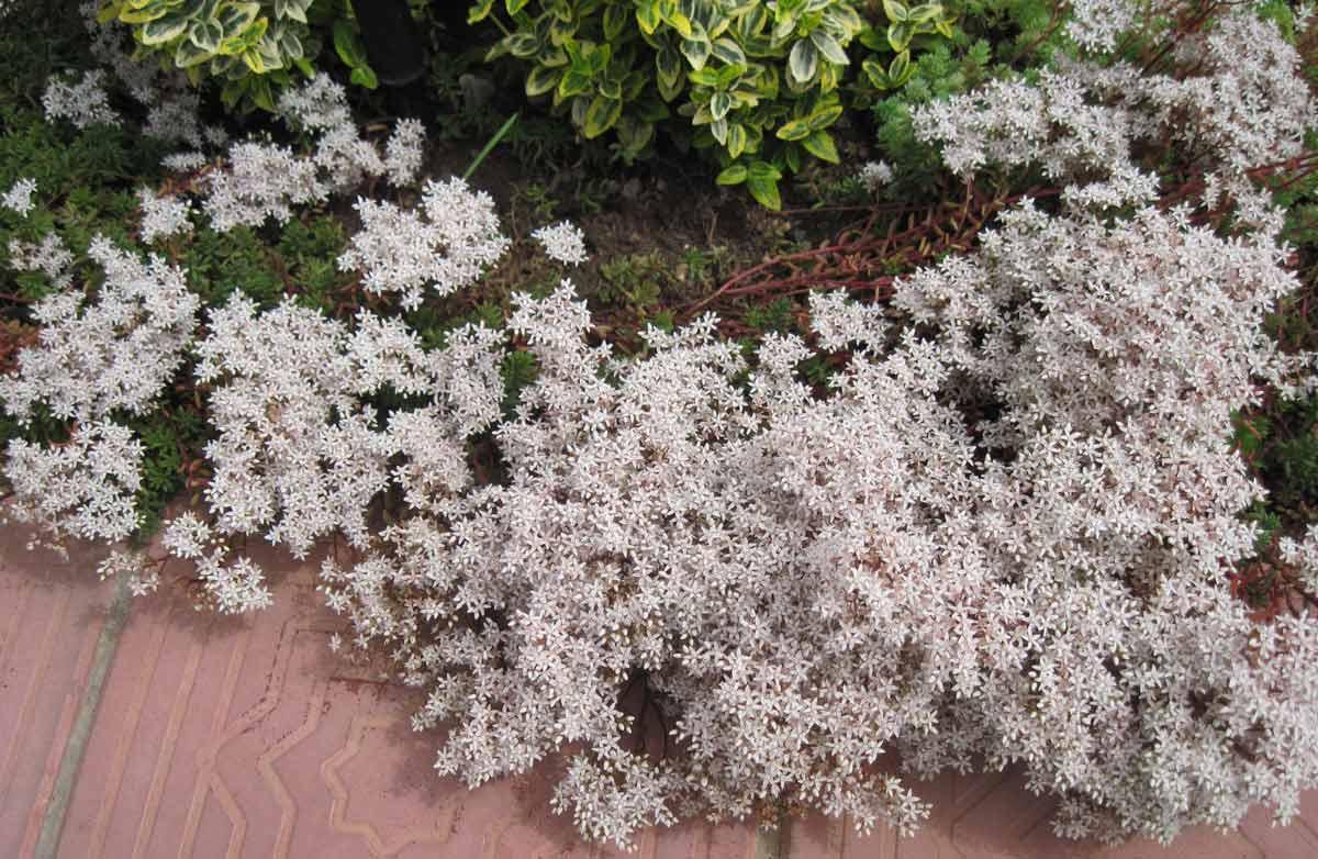 Сказочное украшение вашего сада — удивительные очитки