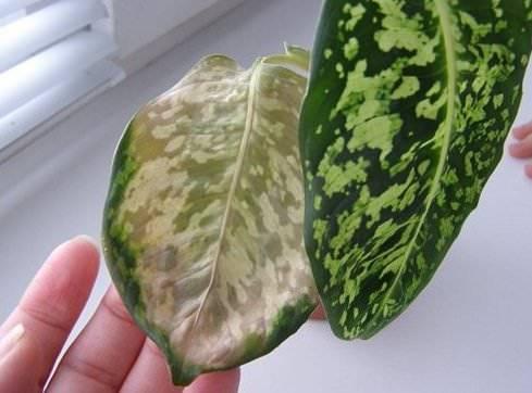 Почему у диффенбахии желтеют листья: как ее лечить