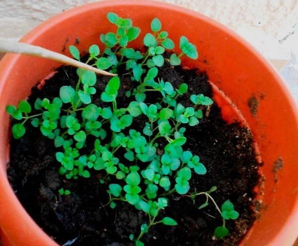 Выращивание рассады тимьяна - сроки посева, уход, видео