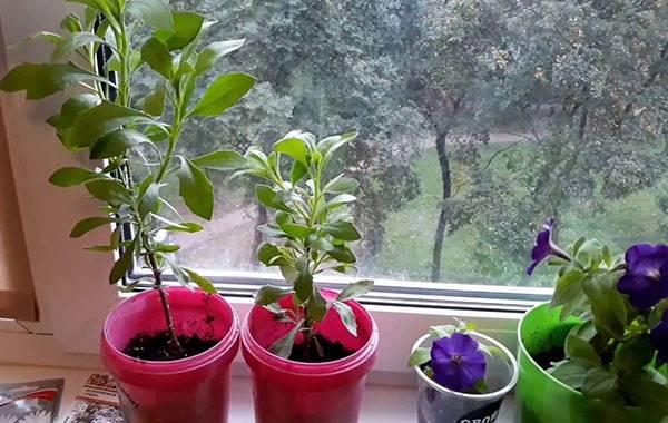 Выращивание остеоспермума и уход за ним в домашних условиях