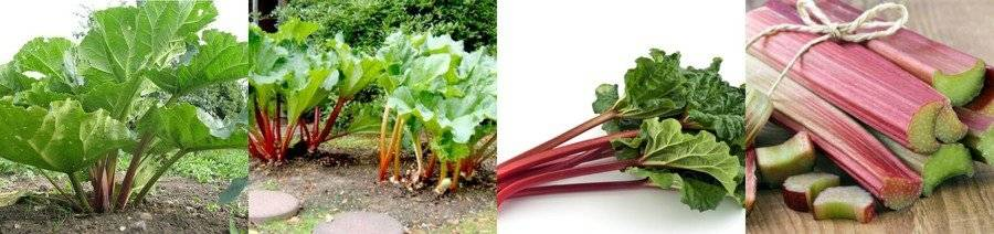 Ревень: посадка и уход в саду, фото, выращивание из семян, свойства: вред и польза