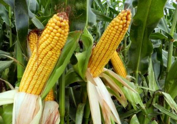 Грамотная технология выращивания сорго зернового – залог высокого и стабильного урожая культуры