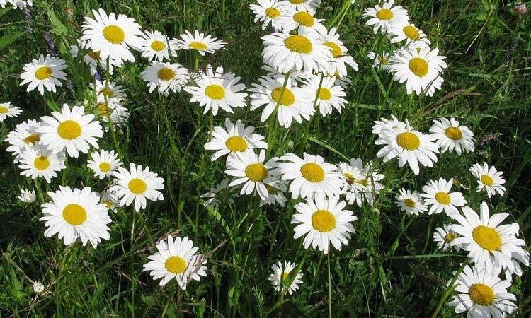Нивяник: выращивание из семян, посадка и уход