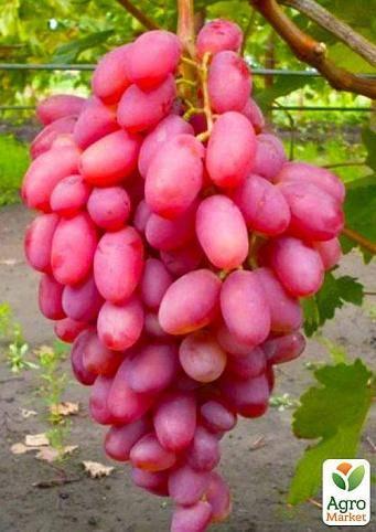 Виноград в средней полосе россии: лучшие сорта и советы по выращиванию