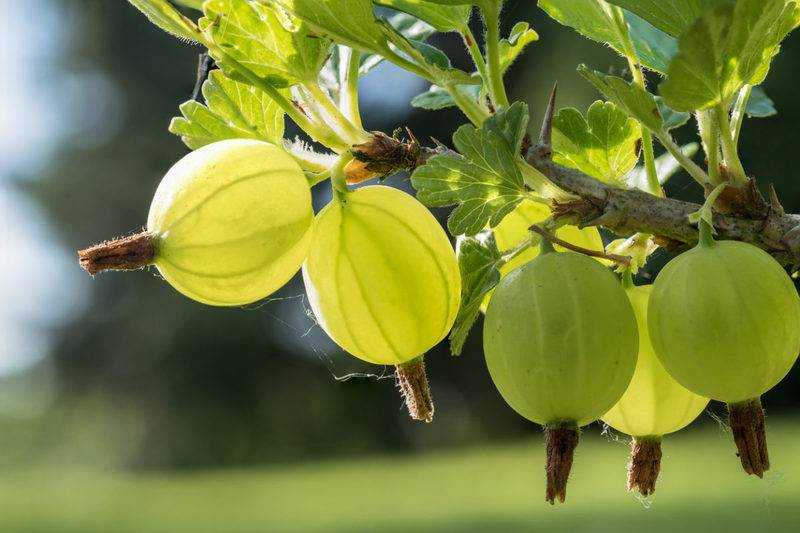 Крыжовник. правильная подкормка – залог урожайности