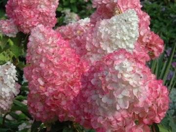Гортензия метельчатая: посадка и уход в открытом грунте