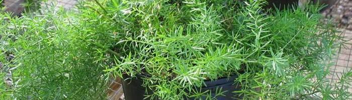 Аспарагус серповидный: уход в домашних условиях за растением с «маленькими серпами»