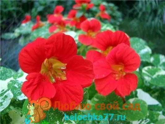 Настурция — милое очарование сада. посадка и уход за настурцией.