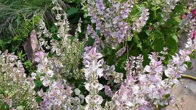Шалфей лекарственный: выращивание на даче, уход, применение