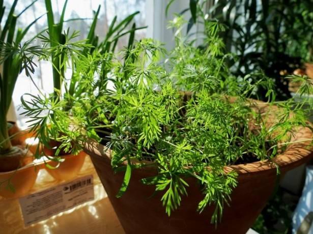 Укроп на подоконнике: как выращивать его зимой и летом