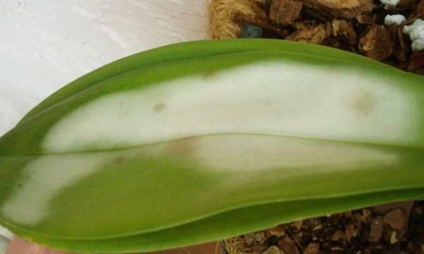 У орхидеи желтеют листья: причины и эффективные способы борьбы