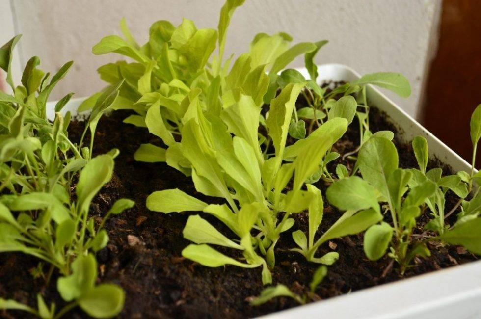 Салат руккола: польза и вред