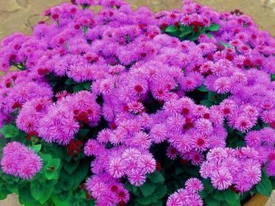 Агератум: чтобы цветение было пышным