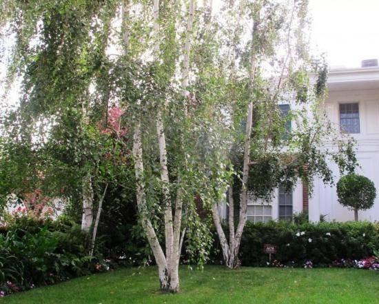Сажаем плакучие деревья в саду, видео