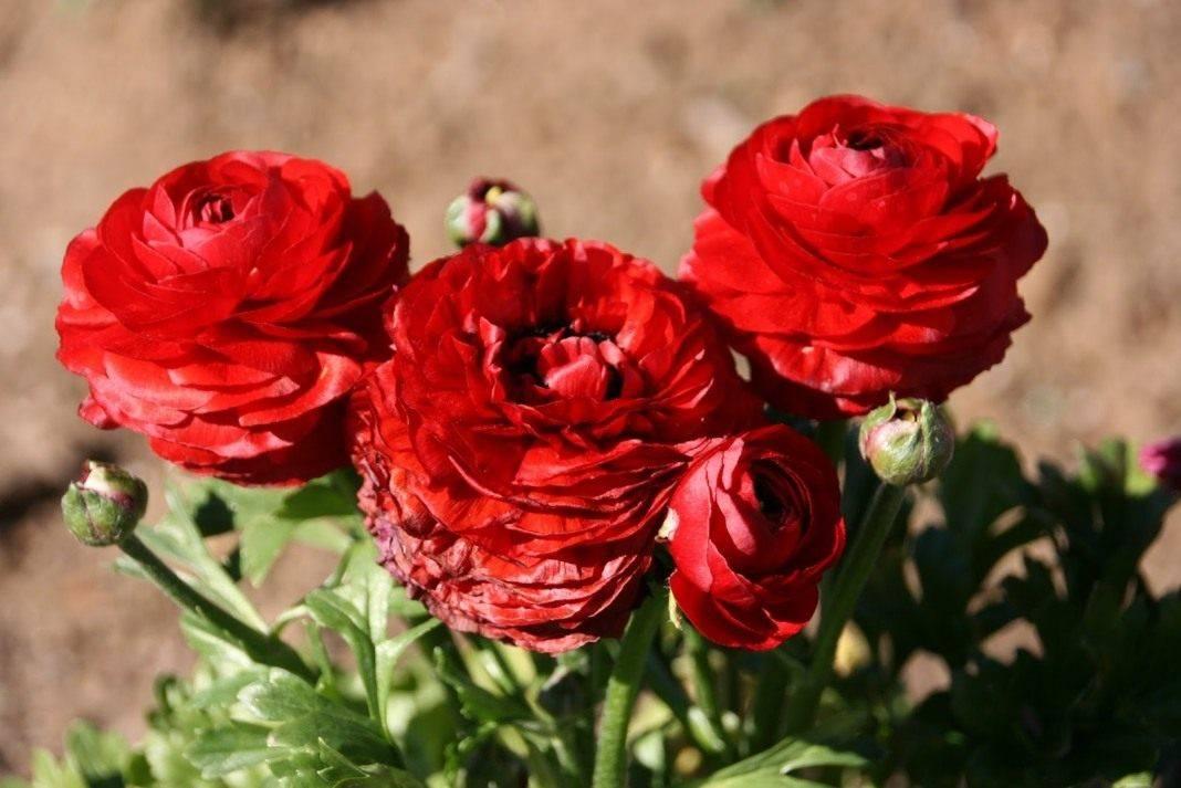 Цветы ранункулюс посадка и уход в открытом грунте и домашних условиях ранункулюс зимой фото видов