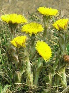 Лабазник: виды, лечебные свойства, способы применения, противопоказания, рецепты