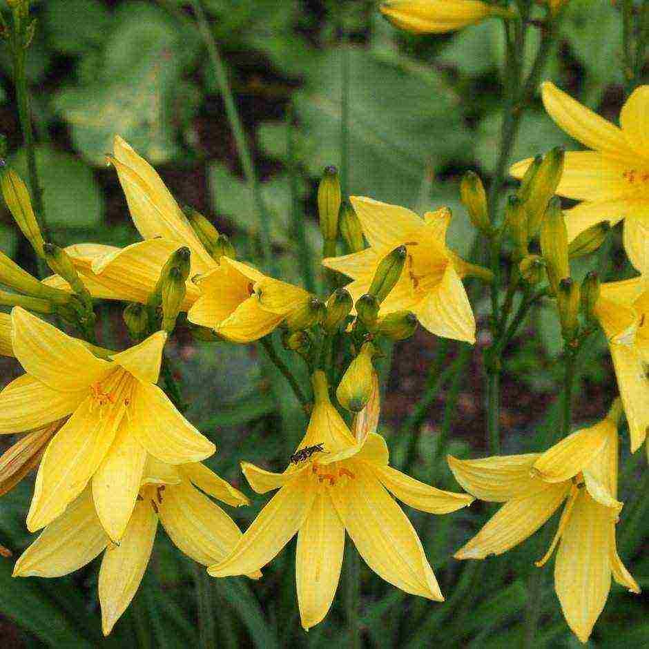 Правила и схема посадки лилейников