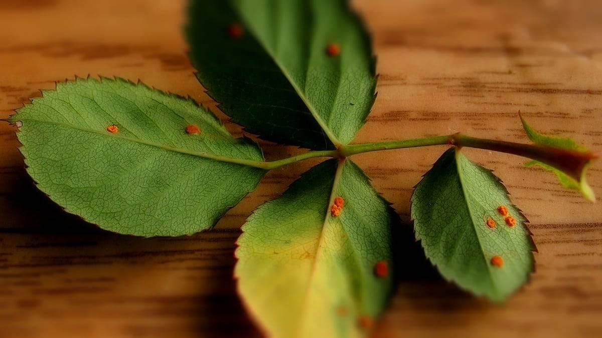 Почему листья яблони скручиваются и ржавеют