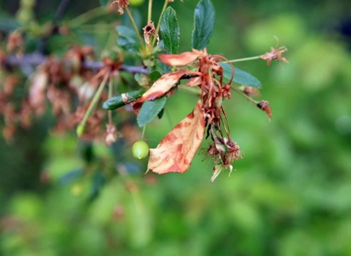 Самые опасные болезни вишни