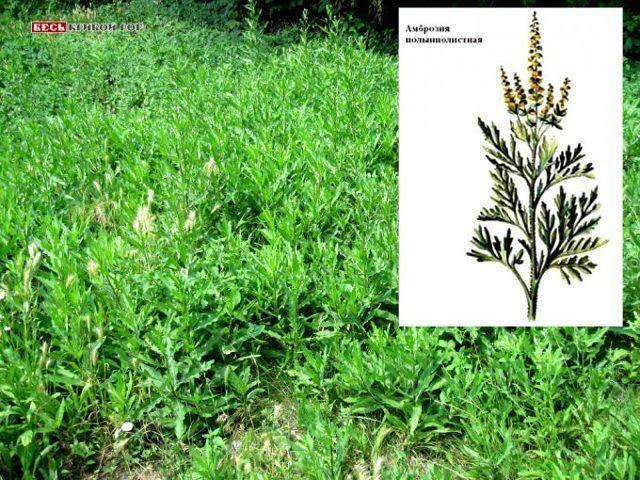 Амброзия растение: фото крупным планом, описание, аллергия в период цветения, польза и вред