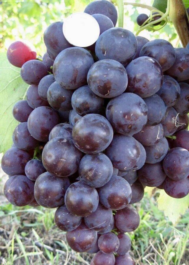 Лучшие сорта винограда для выращивания на урале, правила посадки и ухода летом