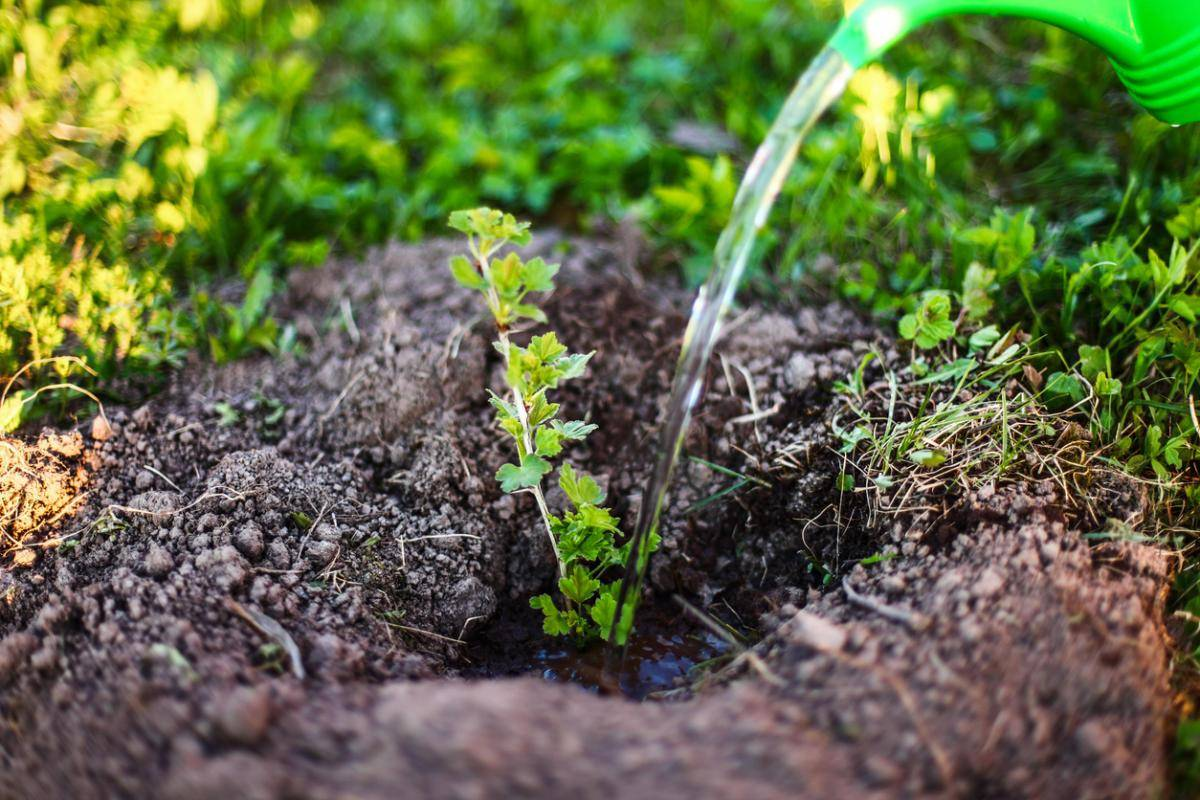 Подкормка крыжовника, правильная и своевременная: весной, летом и осенью