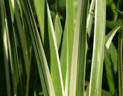 Полезные свойства юкки и их применение. юкка, неимоверно красивый цветок и его полезные свойства