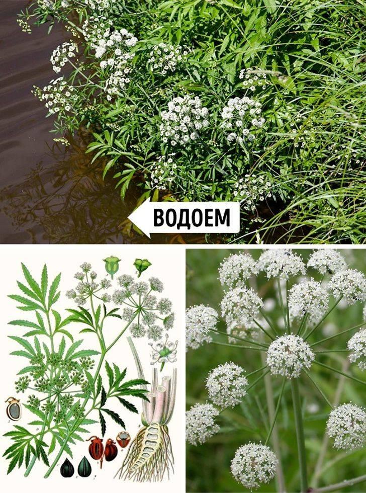 Ягоды — распространенные видя ядовитых растений в россии, видео
