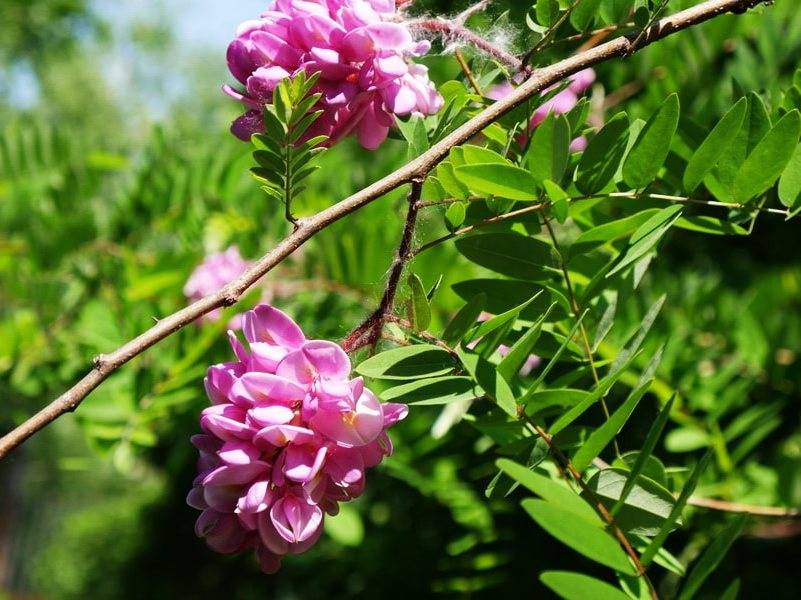 Розовая акация. особенности посадки и ухода