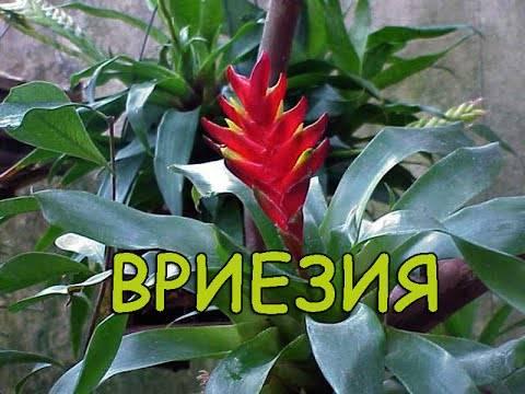 Размножение и уход за цветком вриезия в домашних условиях