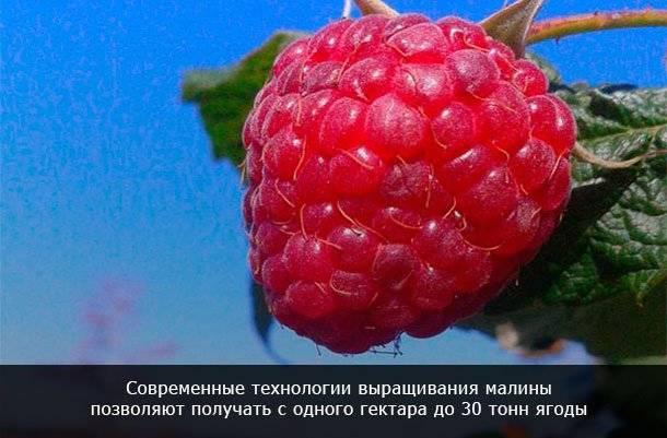 Выращивание малины как бизнес рентабельность в россии