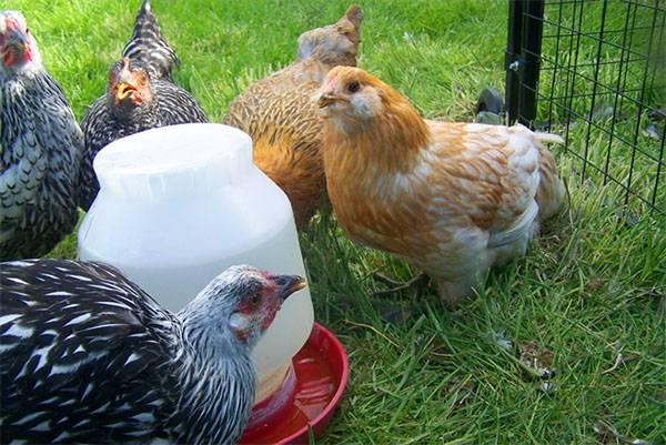 Как сделать поилку для цыплят своими руками
