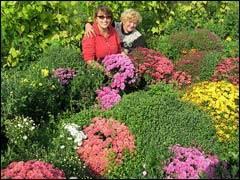 Правила черенкования хризантем