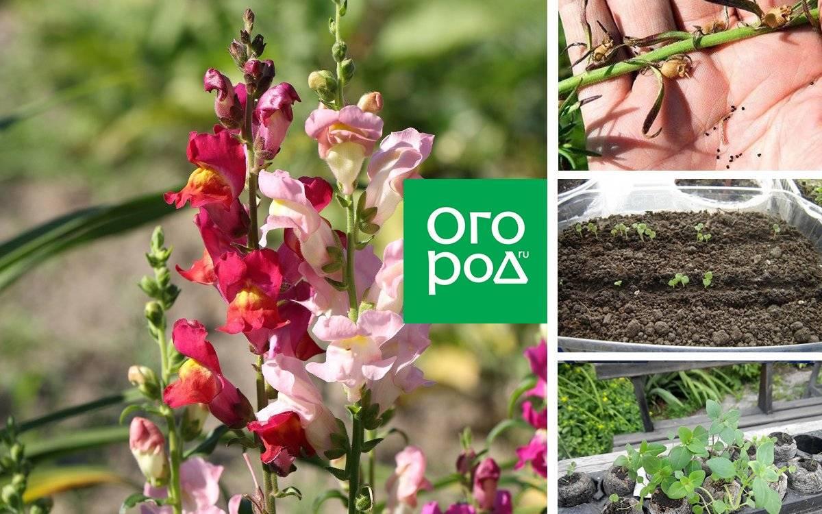 Когда и как сажать львиный зев при выращивании из семян: рекомендации опытных цветоводов