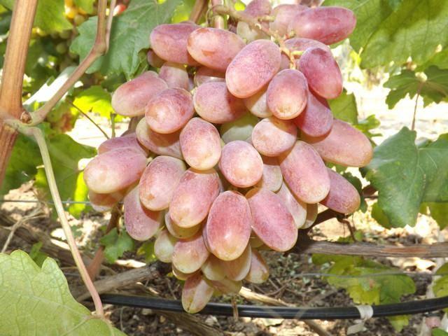 Виноград потомок ризамата — что за сорт, отзывы