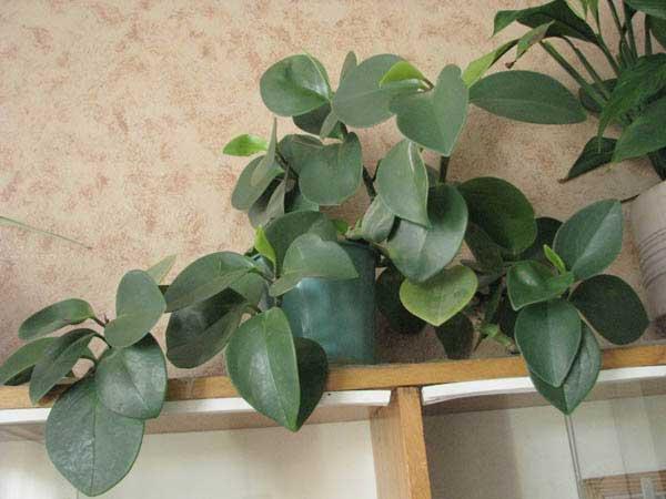 Пеперомия: разновидности и особенности выращивания дома