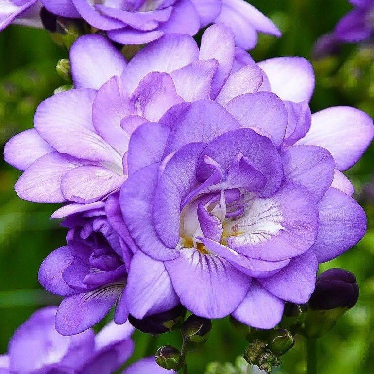 Фрезия махровая: описание,выращивание,уход,размножение,фото,видео.