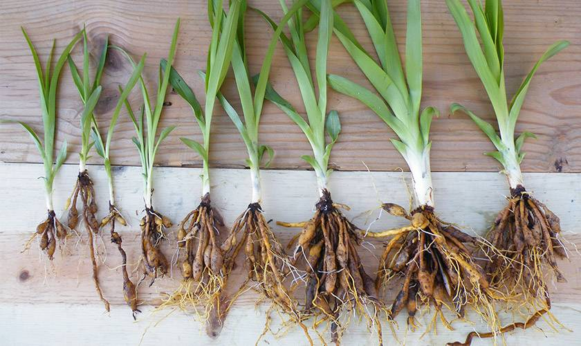 Лилейник: условия выращивания, посадка, размножение, зимовка