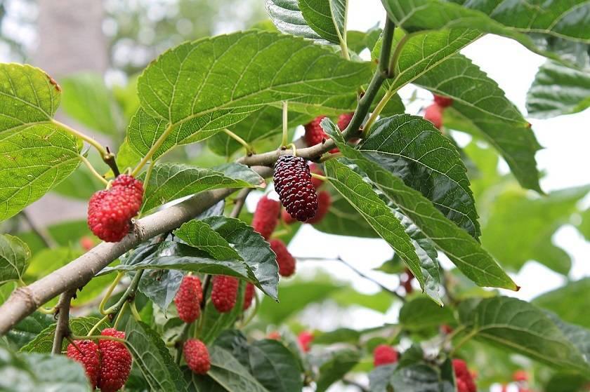 Шелковица белая порадует вас вкусными сочными ягодами