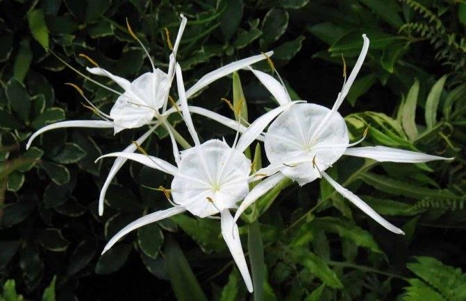 Особенности ухода в домашних условиях за роскошным растением «гименокаллис»