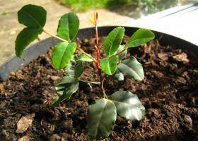 Кладезь полезных элементов – рожковое дерево