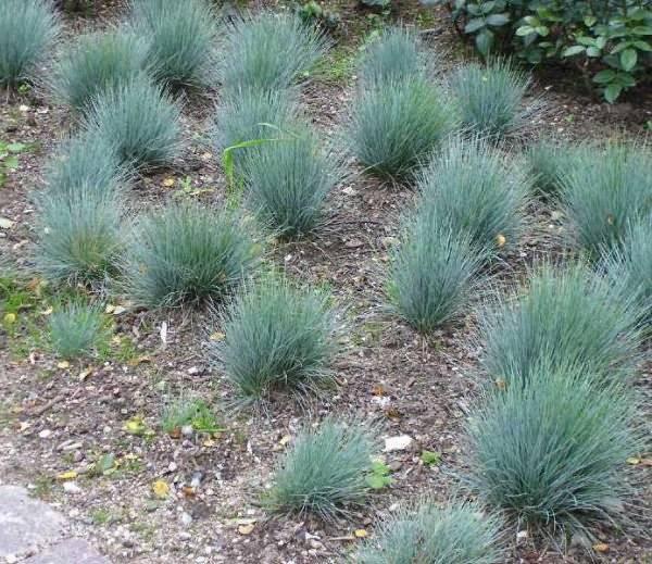 Овсяница посадка и уход в открытом грунте выращивание из семян фото разновидностей
