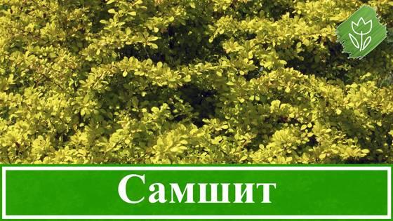 Самшит. уход и размножение в открытом грунте